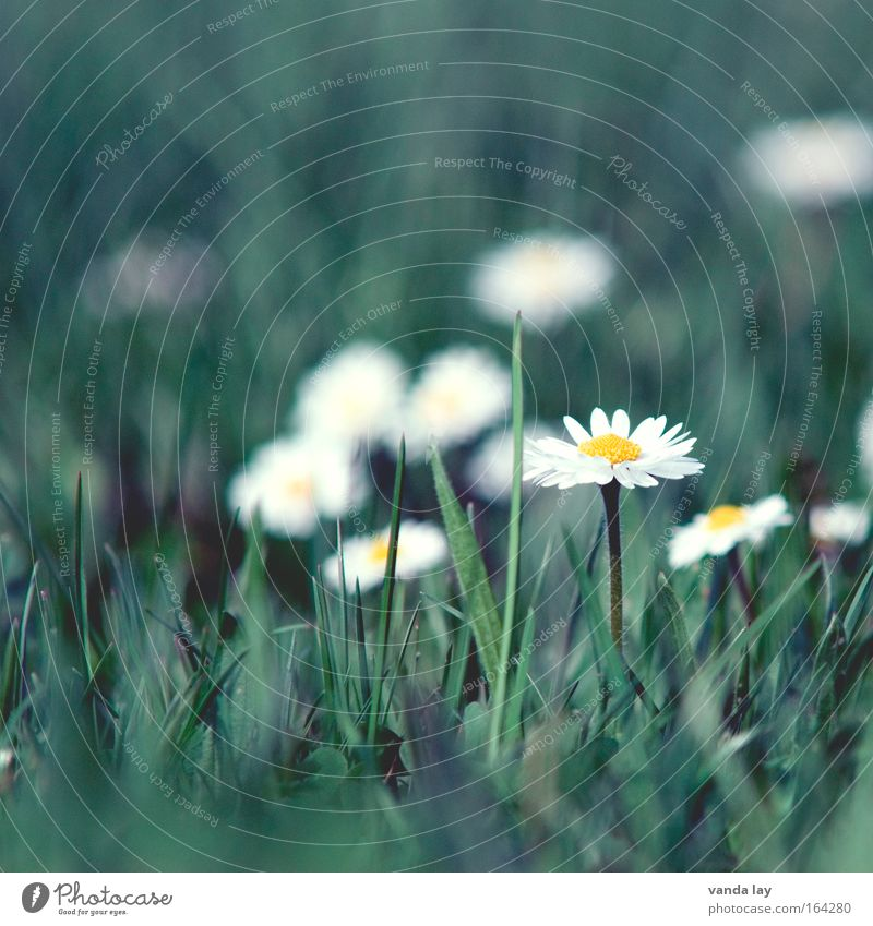 Nature White Flower Green Plant Meadow Blossom Grass Spring Environment Esthetic Daisy Marguerite Spring fever