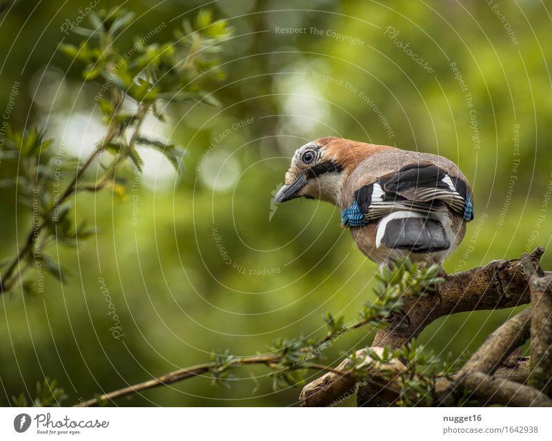 jays Animal Wild animal Bird Animal face Wing Jay 1 Observe Looking Esthetic Blue Brown Green White Love of animals Watchfulness Joie de vivre (Vitality)