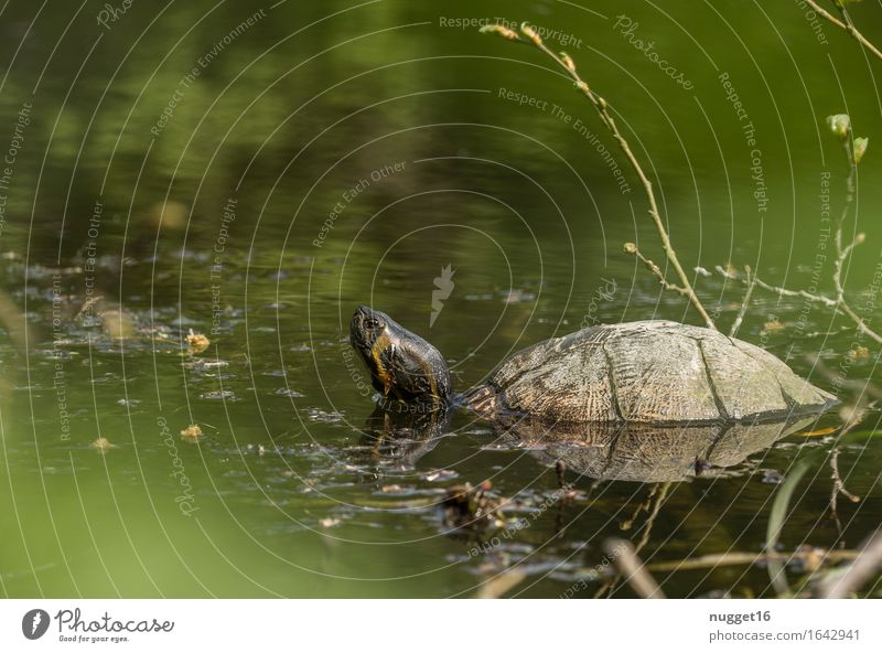 turtle Nature Landscape Animal Beautiful weather Lakeside River bank Wild animal Zoo Aquarium Turtle 1 Observe Swimming & Bathing Exceptional Brown Yellow Green