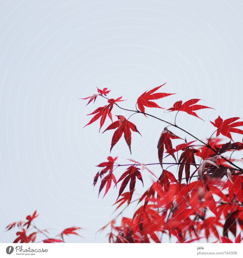 Japanese Maple Tree II Colour photo Exterior shot Deserted Copy Space left Copy Space top Day Sunlight Shallow depth of field Nature Plant Cloudless sky Spring