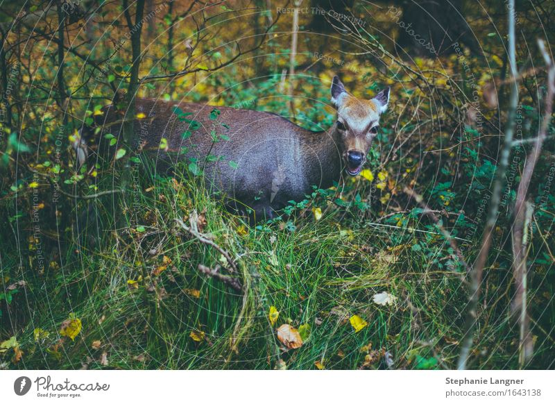 munching deer Animal Wild animal 1 Eating Forest Meadow Chew Nutrition forest life Colour photo Subdued colour Deserted Animal portrait