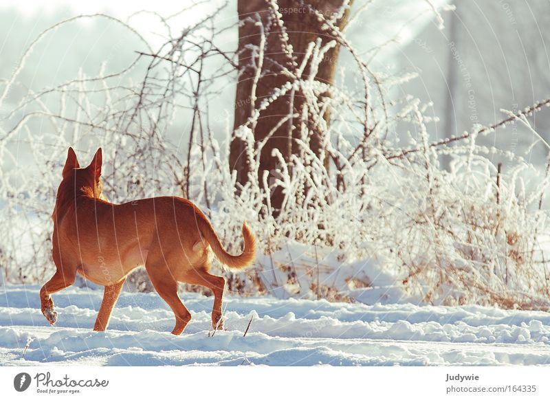 retrospect Colour photo Exterior shot Dawn Day Animal portrait Hunting Winter Snow Hiking Nature Landscape Ice Frost Forest Wild animal Dog 1 Listening Walking
