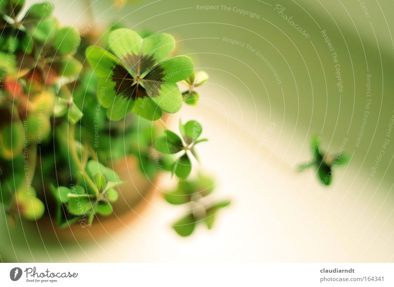 Green Happiness Colour photo Detail Copy Space right Day Shallow depth of field Bird's-eye view Plant Foliage plant Sign Happy Clover Cloverleaf