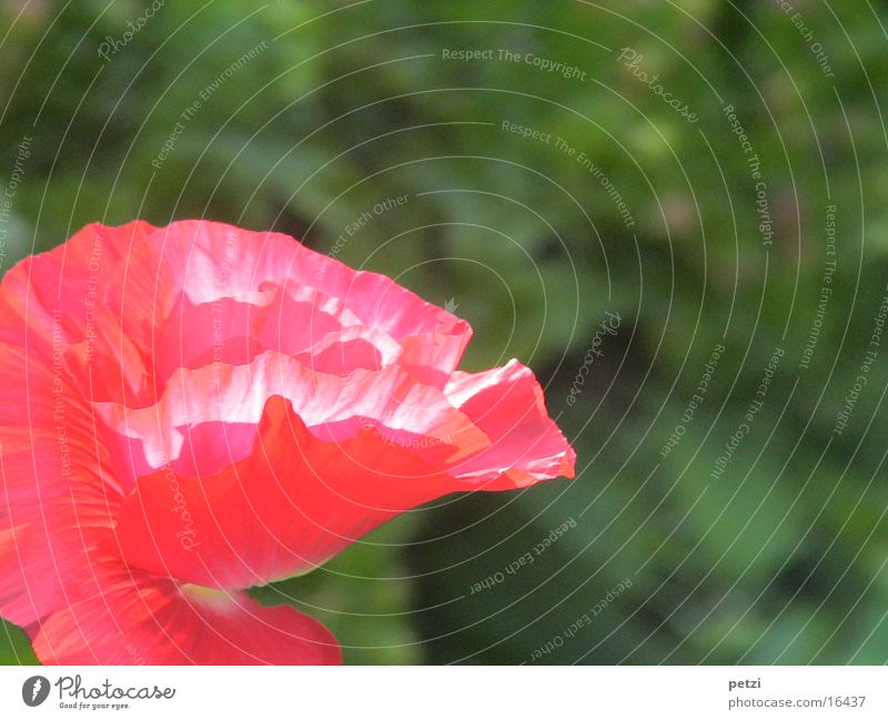 poppy blossom Plant Spring Flower Blossom Garden Red Poppy Deploy Shaft of light Sun bathed Flowers. blossom crumpled leaves Colour photo Exterior shot Detail