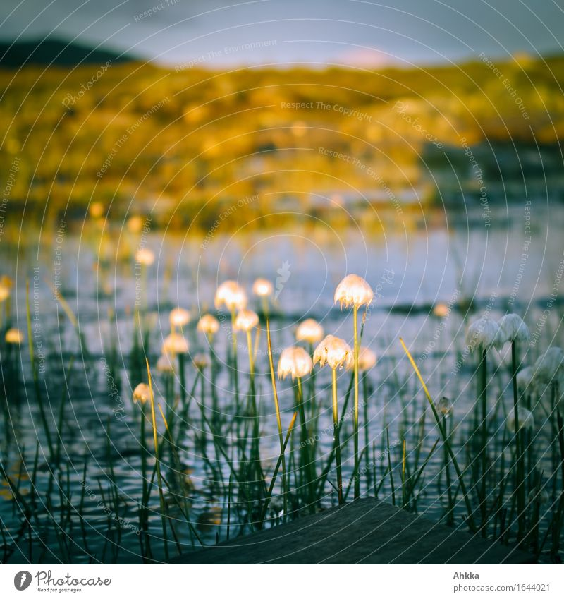 cotton grass Nature Cotton grass Bog Marsh Small Wild Center point Colour photo Multicoloured Exterior shot Close-up Abstract Deserted Twilight Light Shadow