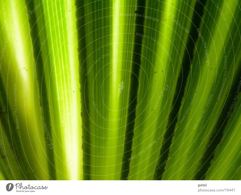 Green Leaf Black Yellow Stripe Palm tree Shaft of light