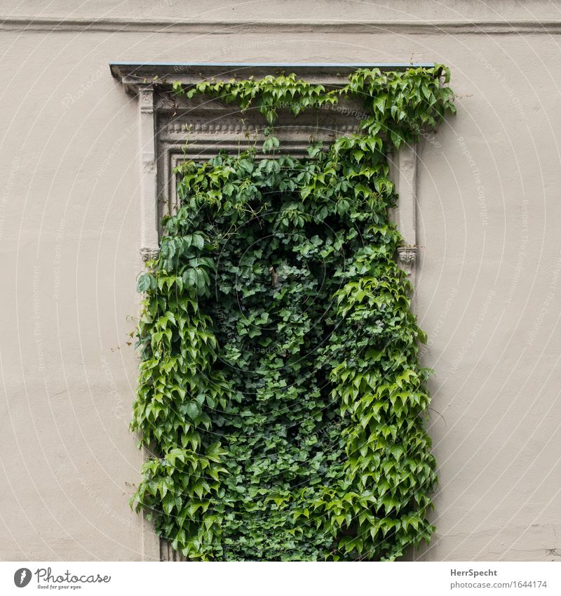 Lack of perspective Plant Ivy Foliage plant Vienna Downtown Old town Wall (barrier) Wall (building) Window Exceptional Beautiful Funny Natural Crazy Green