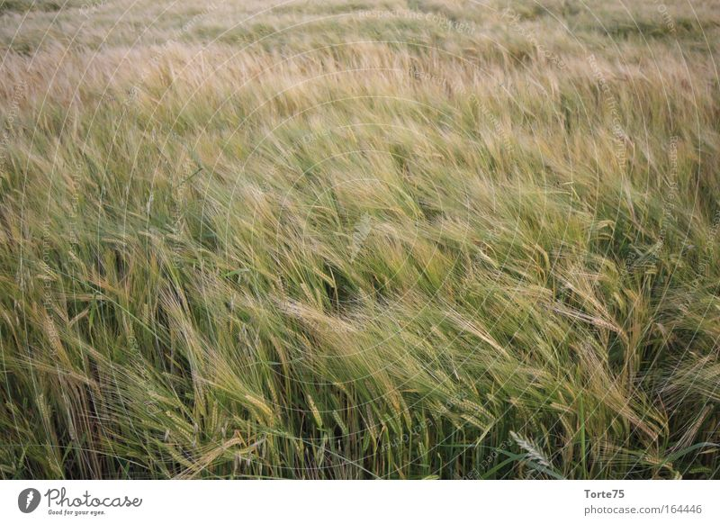 ears Colour photo Exterior shot Abstract Structures and shapes Deserted Day Environment Nature Landscape Plant Summer Agricultural crop Field Idyll Climate Pure