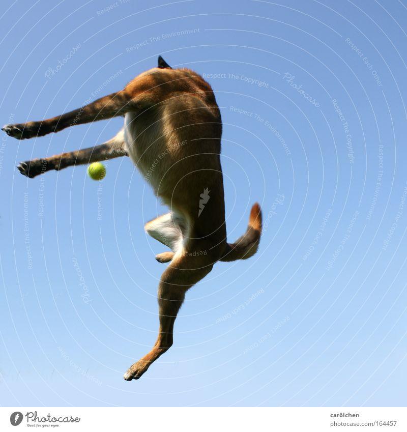 headless Colour photo Sky Pet Dog Catch Hunting Playing Jump Athletic Muscular Joie de vivre (Vitality) Power Resolve Belgian Shepherd Dog Bright background