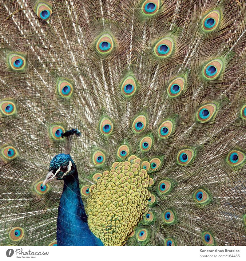 poser Exterior shot Day Animal portrait Petting zoo Peacock 1 Illuminate Esthetic Natural Blue Brown Green Spring fever Beautiful Pride Bird Plumed Feather