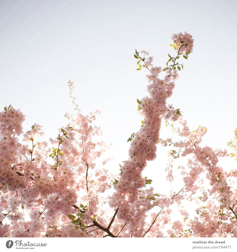 Nature Beautiful Tree Sun Plant Summer Joy Blossom Spring Pink Environment Esthetic Natural Exceptional Idyll Fragrance