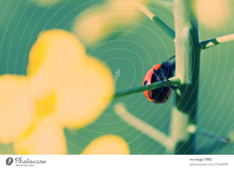 Ladybird I Colour photo Exterior shot Close-up Macro (Extreme close-up) Sunlight Deep depth of field Plant Animal Spring Summer Agricultural crop Canola Branch