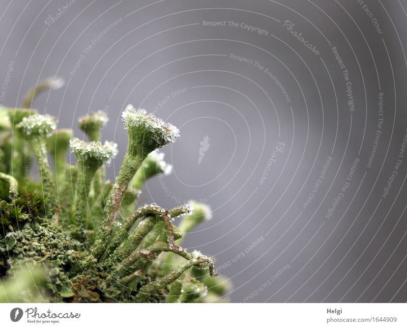 frosty Environment Nature Plant Winter Fog Ice Frost Lichen Forest Freeze Stand Authentic Exceptional Uniqueness Small Natural Gray Green White Unwavering Cold