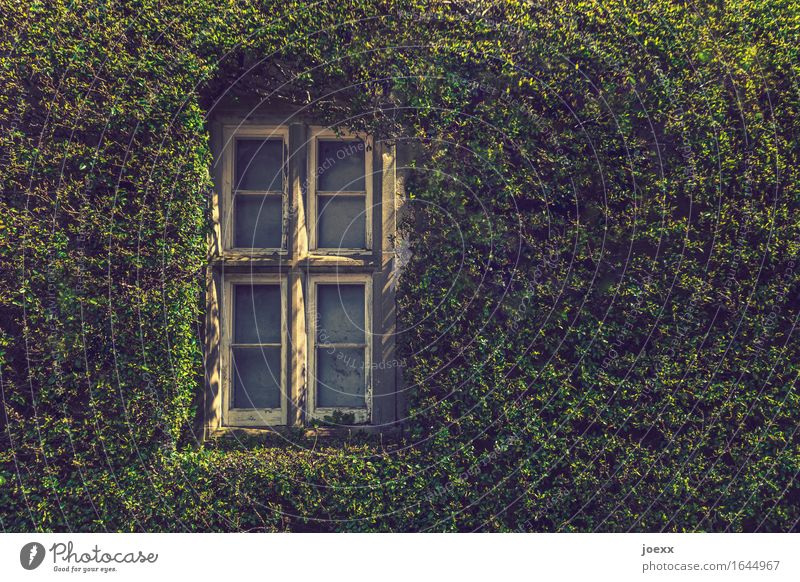 thermal insulation Ivy Wall (barrier) Wall (building) Window Old Beautiful Green White Idyll Overgrown green wall Colour photo Exterior shot Day Sunlight