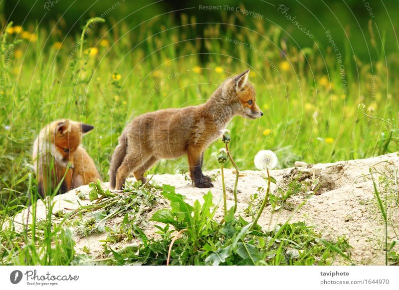 two red fox cubs Baby Family & Relations Youth (Young adults) Nature Animal Sand Earth Grass Forest Fur coat Dog Baby animal Small Natural Cute Wild Brown Green