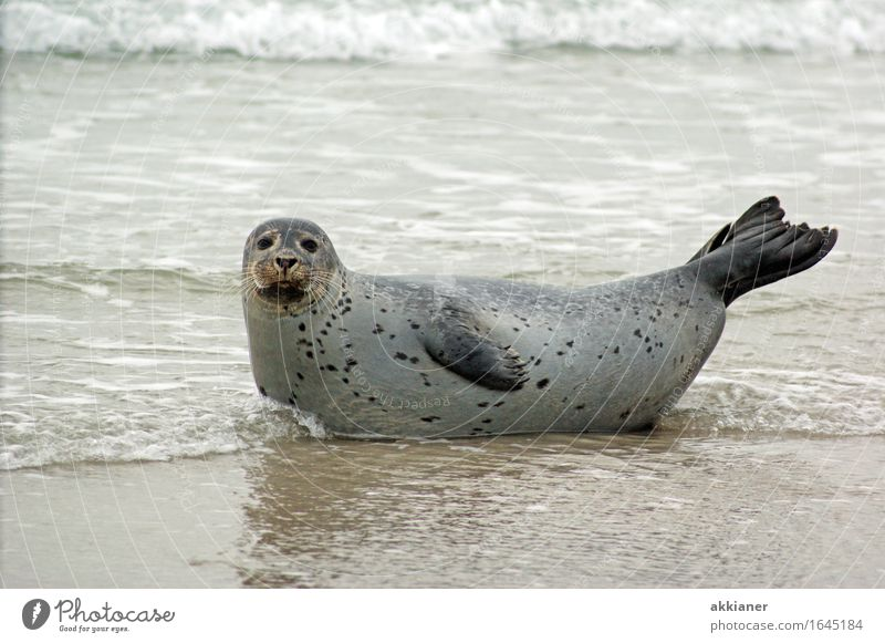 "seal Environment Nature Landscape Animal Sand Waves Coast Lakeside Beach Wild animal ""Seal seals lion sea lion sea lions mammal animals animal kingdom"