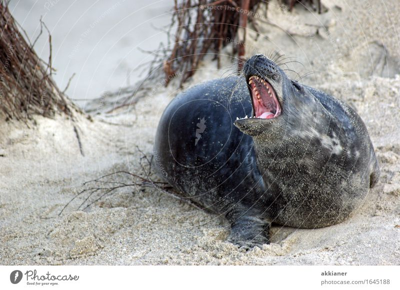 "Stay off my back. Environment Nature Landscape Plant Animal Sand Beautiful weather Bushes Coast Beach Wild animal ""Seal seals lion sea lion sea lions mammal"