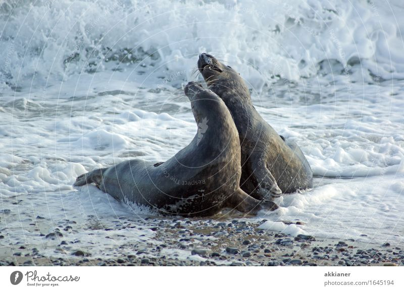 dance Environment Nature Animal Elements Water Winter Waves Coast Beach North Sea Ocean 2 Pair of animals Bright Near Wet Natural Gray Seals Mammal Harbour seal