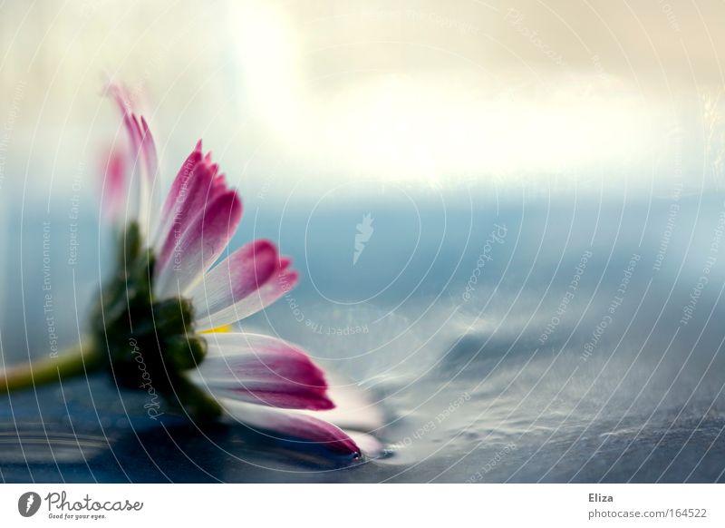 Beautiful Flower Summer Life Blossom Spring Glittering Pink Wet Fresh Esthetic Decoration Delicate Damp Daisy