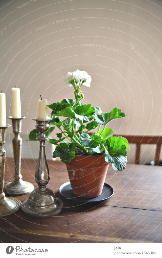 geranium Living or residing Flat (apartment) Decoration Table Plant Flower Pot plant Candle Esthetic Geranium Colour photo Interior shot Deserted Copy Space top
