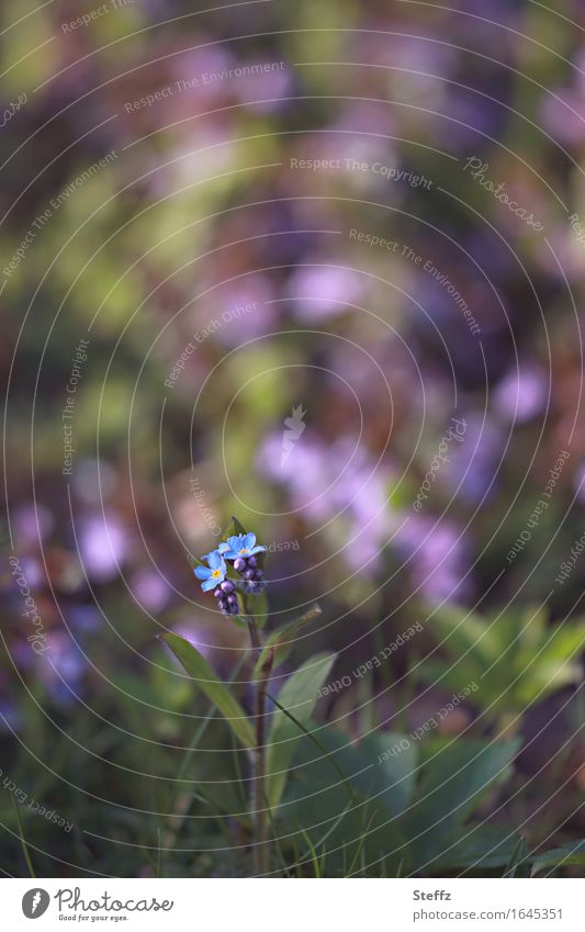 small forget-me-not with garden colors background Forget-me-not forget-me-not flower Myosotis Garden Colors Spring flower inconspicuous Domestic little flowers