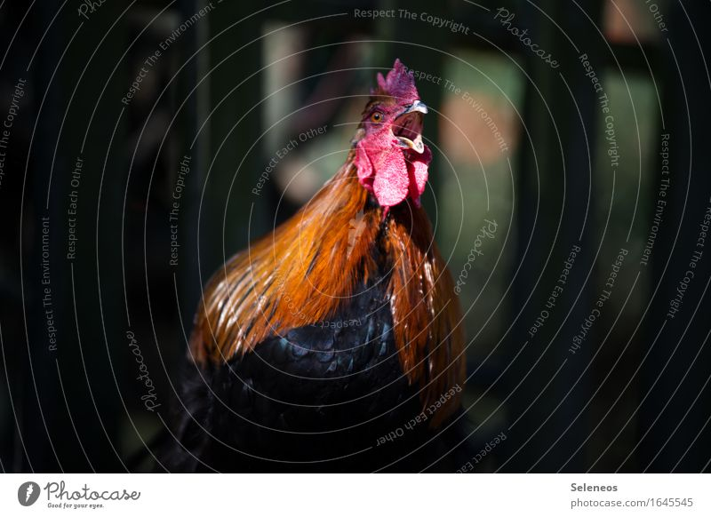 Get up! Animal Farm animal Animal face Rooster 1 Love of animals crow Loud Cockscomb Feather Colour photo Exterior shot Shallow depth of field Animal portrait