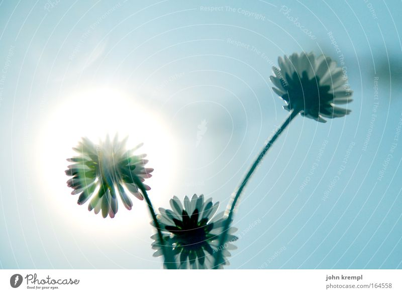 Nature Sky Sun Flower Blue Plant Spring Happy Environment Warm-heartedness Daisy Sympathy Worm's-eye view