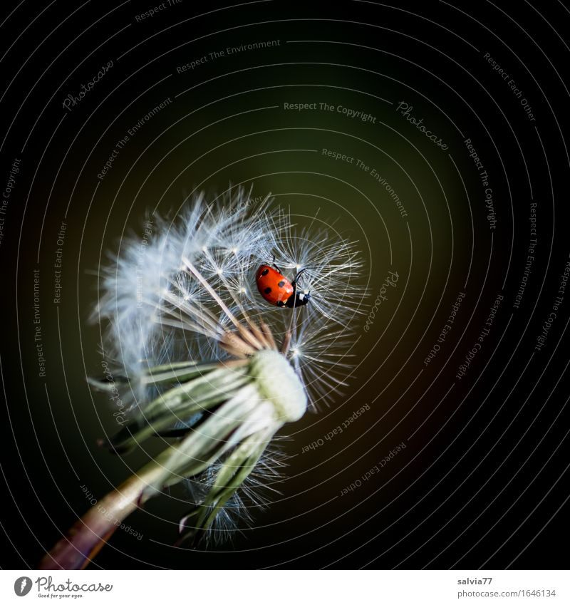 Airfield dandelion Nature Plant Animal Spring Summer Blossom Seed Dandelion Meadow Beetle Insect Seven-spot ladybird Ladybird 1 Flying Crawl Faded Happy