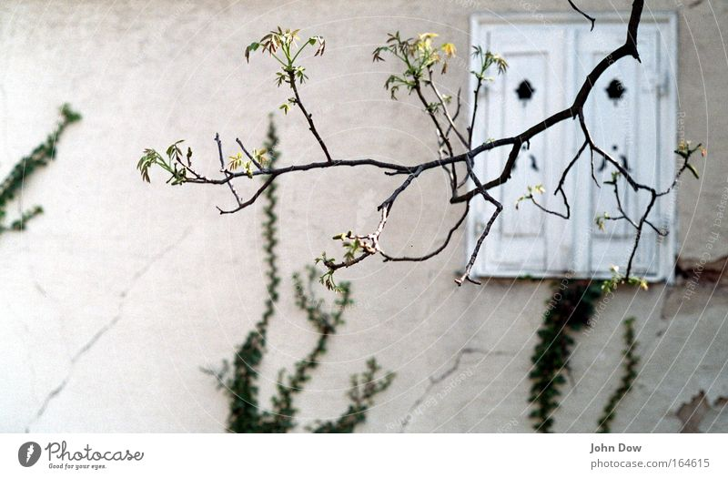 Old Tree Plant House (Residential Structure) Life Window Spring Facade Growth Esthetic Hope Transience Branch Delicate Blossoming To break (something)