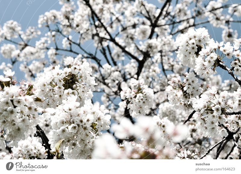 Nature Sky Tree Blossom Spring Fresh New Branch Fragrance Lust Upward Breathe Refreshment Cherry blossom