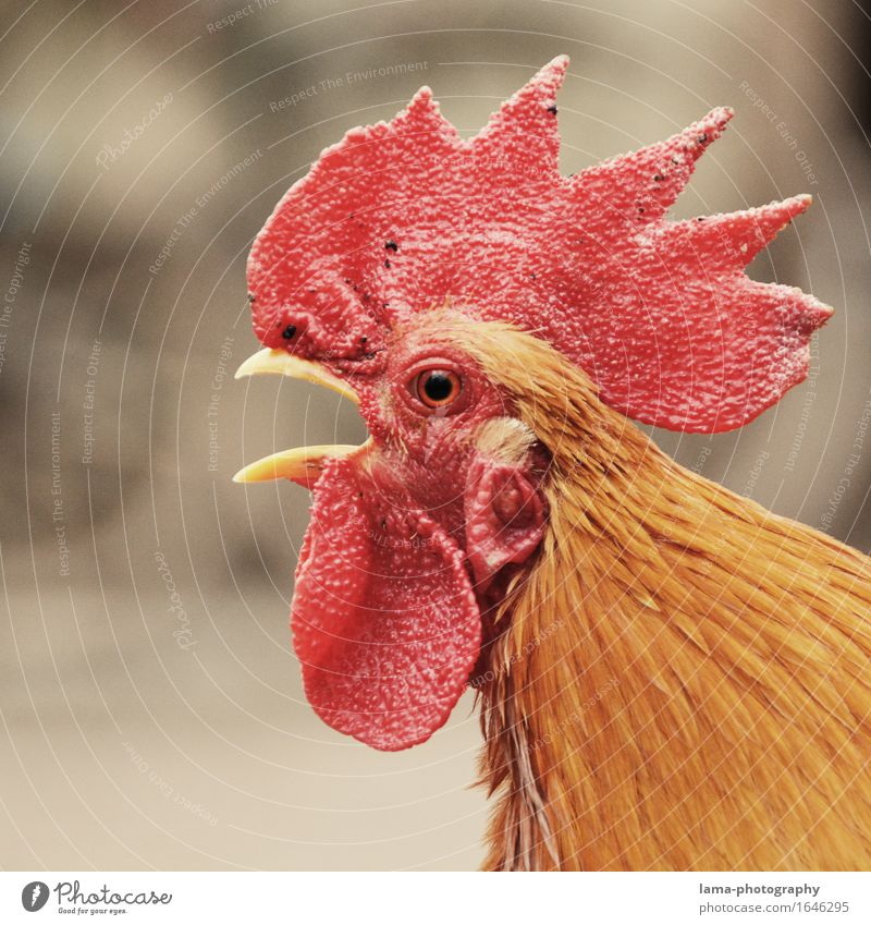 cock-a-doodle-doo Agriculture Forestry Animal Farm animal Rooster Cockscomb 1 Red Alarm clock Wake up Chicken coop Colour photo Exterior shot