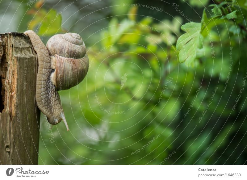 On the way Nature Plant Animal Spring Hawthorn Garden Wild animal Snail Vineyard snail 1 Fence post Wood Slowly Movement Slimy Brown Gray Green Flexible