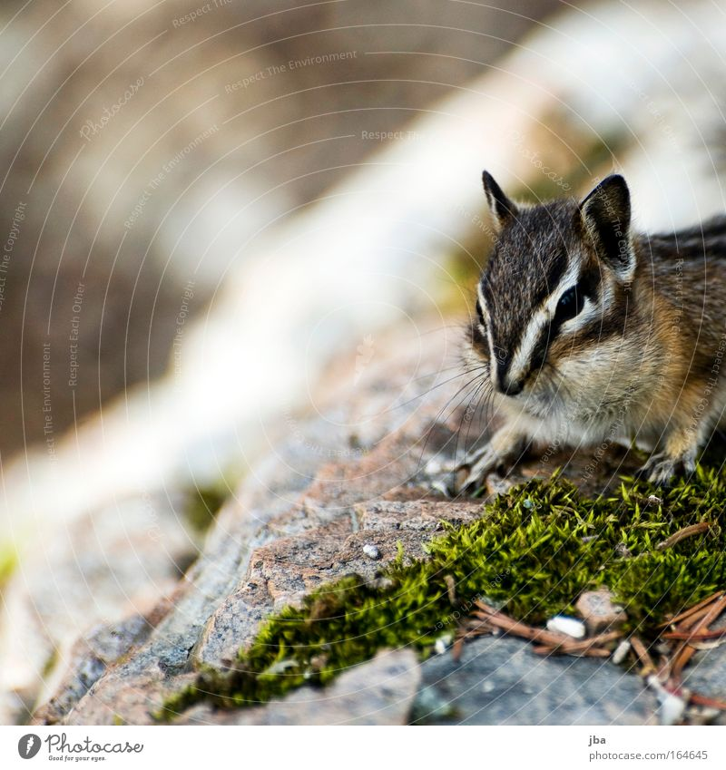Nature Animal Environment Spring Small Brown Wild animal Wait Authentic Observe Curiosity Discover Eastern American Chipmunk