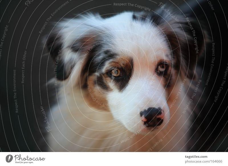 BHALENA SHERA bhalena Shera shepherd Shepard Australian Dog Dreamily Copy Space Copy Space left eavesdropping Listening dog portrait Cute Loyalty Beautiful
