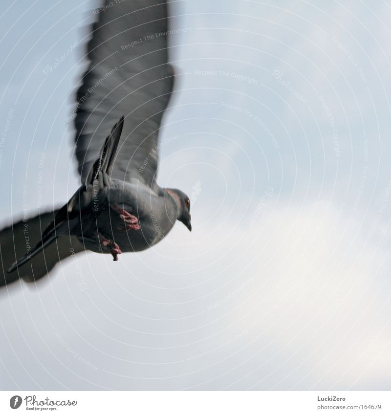 Sky Nature Animal Clouds Movement Bird Flying Wild animal Beginning Free Wing Upward Departure Pigeon Worm's-eye view Claw