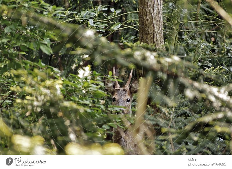 Neighbour's Wild Garden Hunting Environment Nature Spring Wild animal Roe deer 1 Animal Observe Discover Love of animals Environmental protection Hiding place
