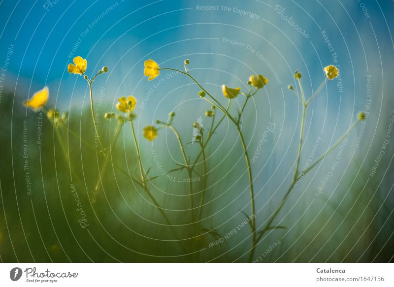 yellow and blue Nature Plant Cloudless sky Spring Beautiful weather Flower Grass Blossom Marsh marigold Meadow Blossoming Growth Esthetic Fragrance Blue Yellow