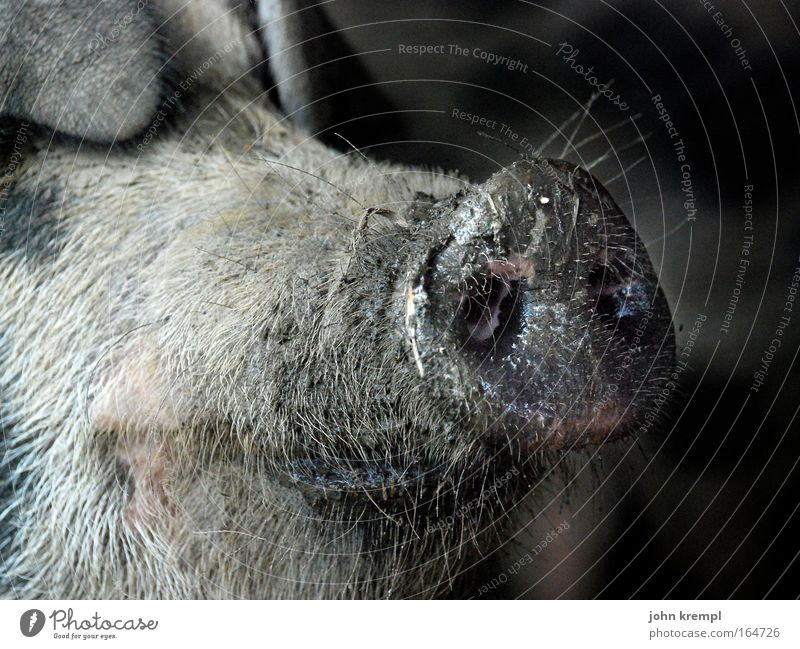 I'd rather have a flu than a rib. Colour photo Subdued colour Exterior shot Copy Space right Copy Space top Animal portrait Farm animal Swine 1 Smiling Disgust
