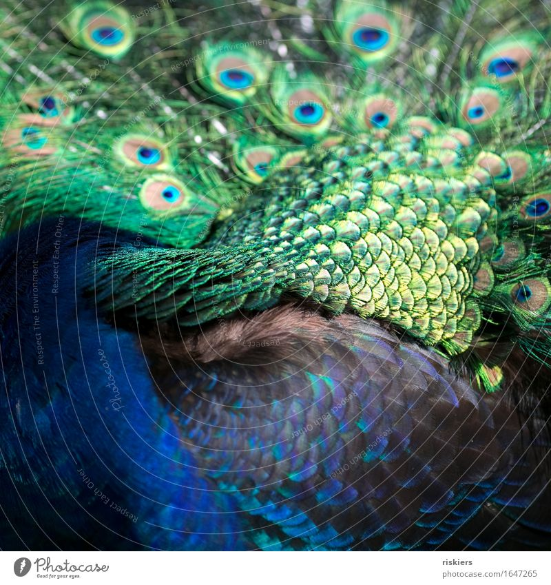 Blue Green Beautiful Bird Illuminate Wild animal Esthetic Feather Exotic Plumed Peacock