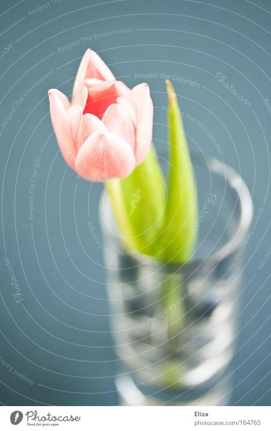 Nature Flower Blue Plant Calm Spring Glittering Pink Glass Elegant Esthetic Decoration Delicate Idyll Fragrance Tulip