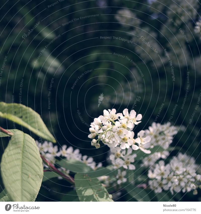 wild lilac Plant Spring Blossom Park Fragrance Lilac White Twigs and branches Delicate Blossoming Bushes Colour photo Exterior shot Close-up Copy Space top Day