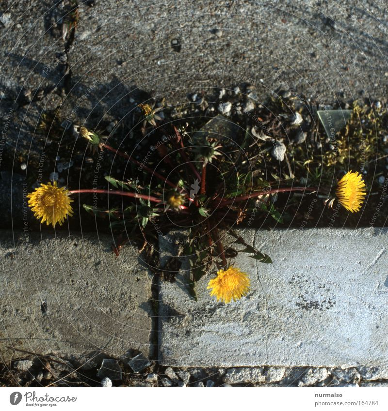 3 times LöwenZ Colour photo Morning Sunlight Food Nature Plant Animal Spring Beautiful weather Flower Blossom Dandelion Roadside Curbside Select Smiling Simple