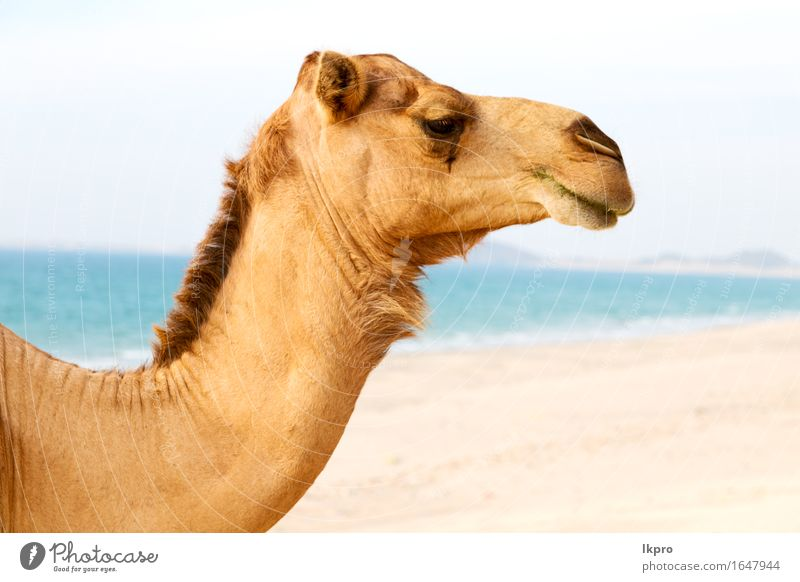 of desert a free dromedary near the sea Eating Vacation & Travel Tourism Summer Beach Ocean Nature Plant Animal Sand Hot Wild Brown Gray Black White Africa Asia