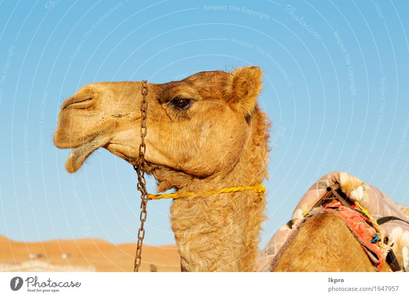 oman empty quarter of desert a free Sky Nature Vacation & Travel Summer White Clouds Animal Beach Black Face Yellow Gray Brown Sand Tourism Wild