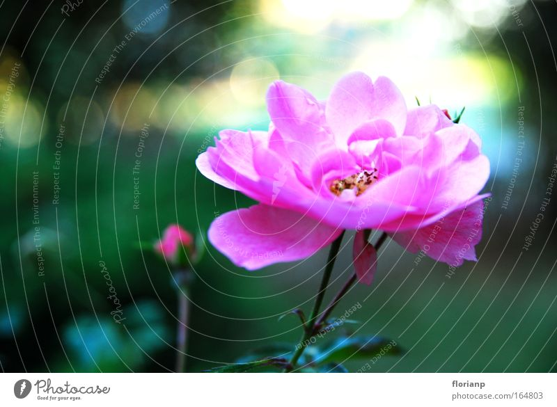 Nature Beautiful Flower Green Plant Calm Blossom Spring Pink Large Happiness Esthetic Near Authentic Good Friendliness