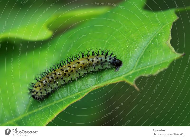 Punk caterpillar (What will become of you?) Animal Caterpillar 1 Eating Threat Exotic Creepy Hideous Beautiful Thorny Green Appetite Gluttony Voracious Disgust