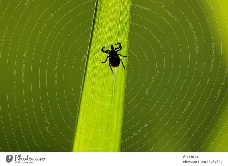 Another tick. Animal Tick 1 Crawl Drinking Wait Threat Creepy Hideous Green Fear Horror Dangerous Bloodsucker Lyme disease TBE Illness disease vector