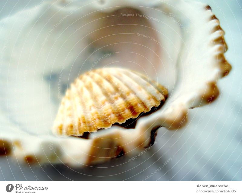 yearning for the sea Nature Mussel shell Shell-shaped Authentic Small Natural Brown Safety Protection Colour photo Interior shot Detail Macro (Extreme close-up)