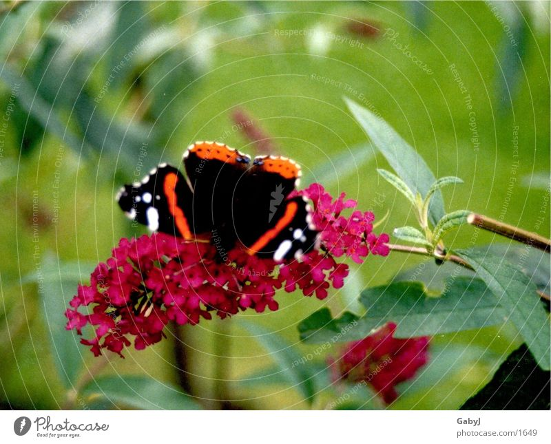 admiral Red admiral Butterfly Insect Metamorphosis Flying animal Judder Stamen butterfly bush Nectar