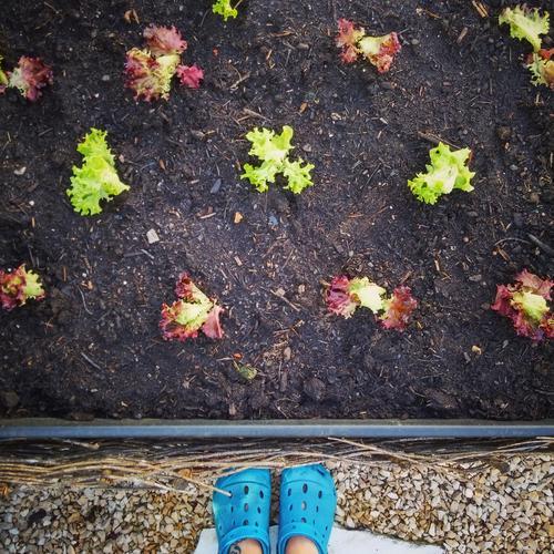 grow lettuce Garden Gardening raised Lettuce Gardener Footwear Exterior shot Food Nutrition Domestic farming Agriculture Sowing Green